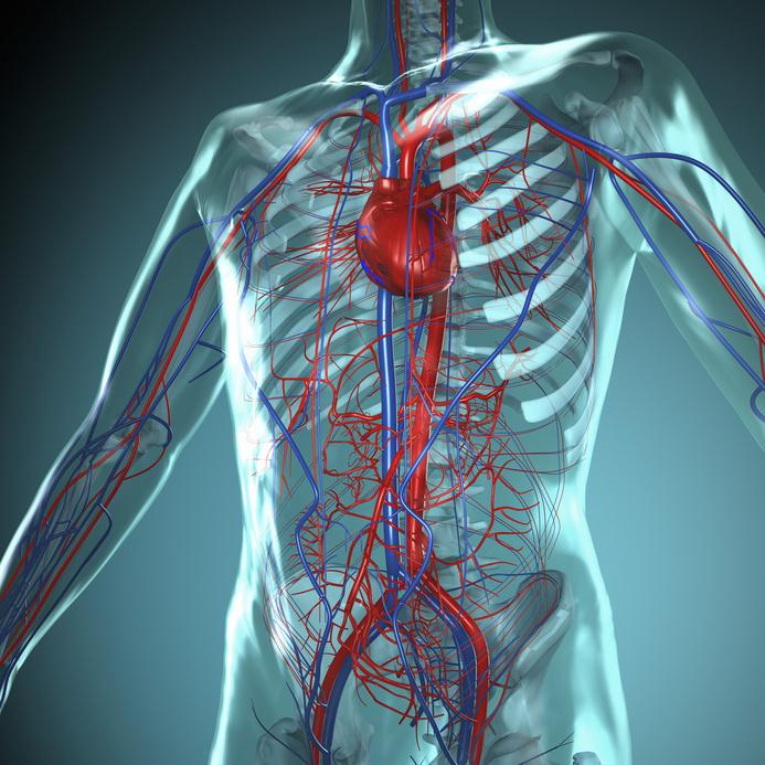 Niedlich Wo Ist Das Herz Im Körper Befindet Ideen - Menschliche ...