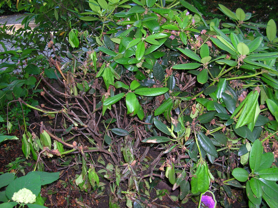 Super Phytophthora-Triebsterben bei Rhododendron - FHH - Hamburg &IF_73