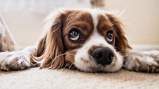 liegender Hund / pixabay.com/Fran__