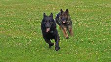 Rennende Hunde auf einer Wiese