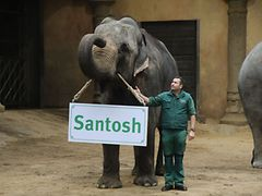 Elefant mit Namensschild Santosh