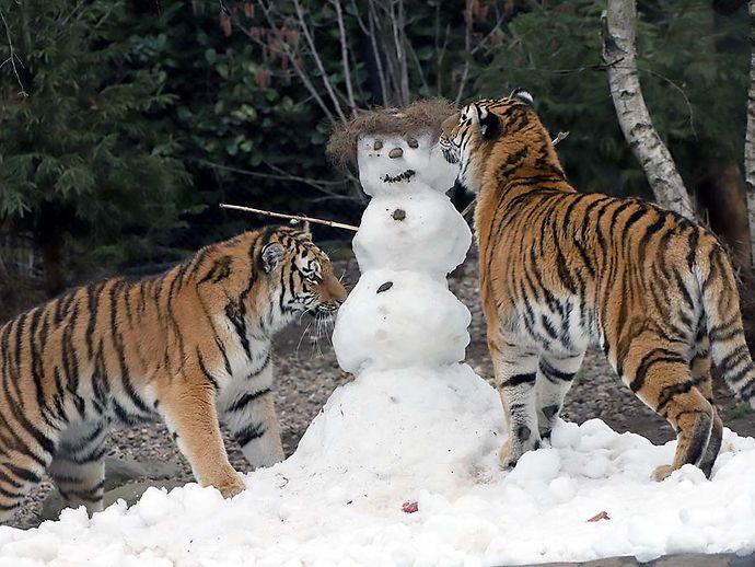 Tigernachwuchs In Hagenbecks Tierpark Hamburgde