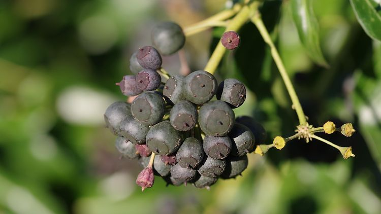 Hedera helix | Frucht