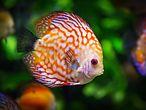Fisch im Aquarium