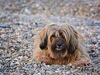 Wuscheliger Hund liegt auf Steinen