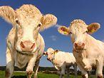 Kühe schauen in die Kamera