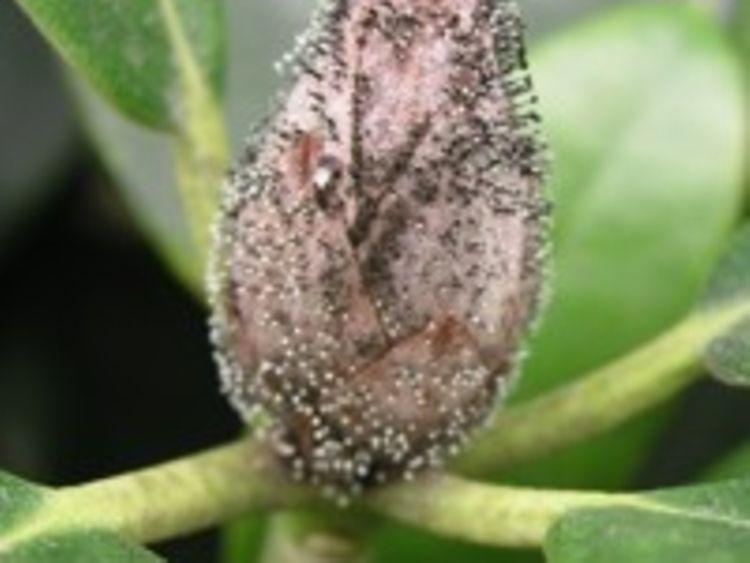Hervorragend Krankheiten an Rhododendron - hamburg.de MQ38