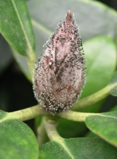 Krankheiten An Rhododendron Hamburgde