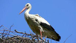 Ein Storch sitzt in seinem Nest.
