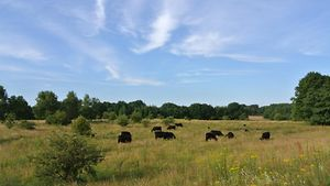 Eine Herde Galloway-Rinder grast in der Weidelandschaft des Stellmoorer Tunneltals.