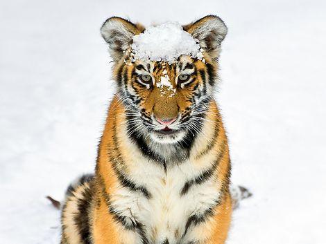 Tiger / Hagenbeck