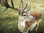 Hirsch in einem Wildpark