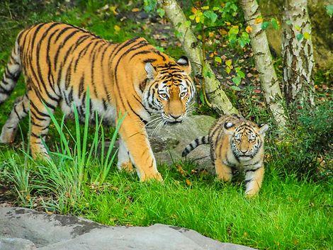 Die vier Tigerwelpen erkunden zum ersten Mal die große Außenanlage. / Marek Santen